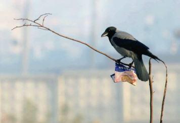 Любопытная ворона
