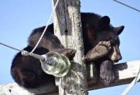 Медведь на опоре