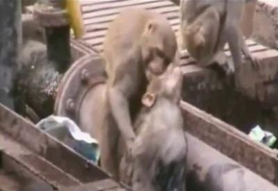 Спасение обезьяны