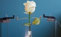 Электрическая роза