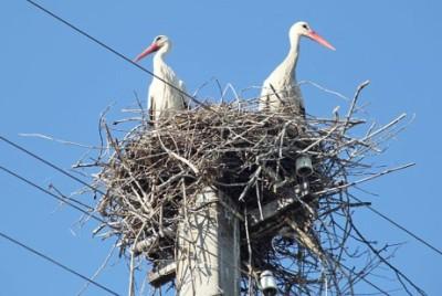 Гнездо аистов на опоре