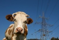 Корова и ЛЭП