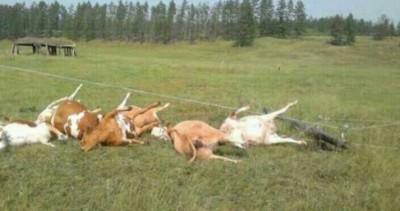 Погибли коровы