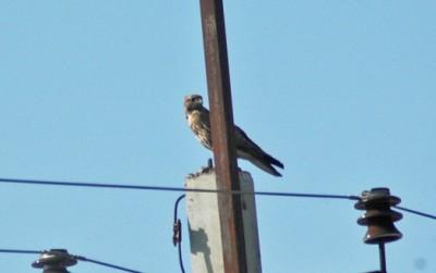 орел на опоре
