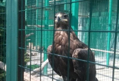 Орел могильник