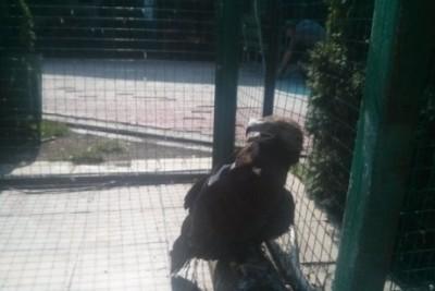 Орел в клетке