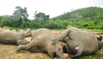 Погибли три слона